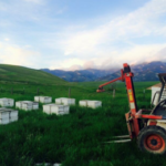 Bees in Montana 1