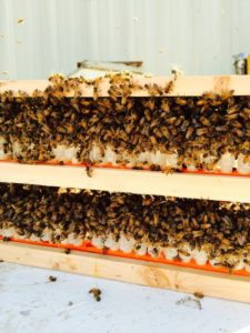 Bees taking care of queen cells