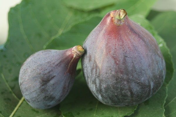 Can you tell which fig got water?