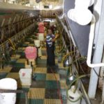 Inside the double 20 parallel milking barn.