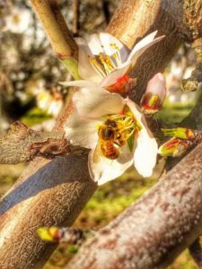 Bee pollinating almond blossom