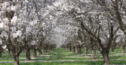 California Almonds: Why the Golden State is the Top Producer of this Beloved Snack